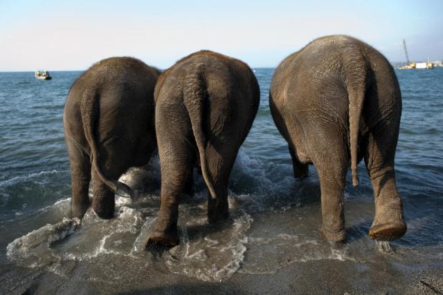 elephant thau